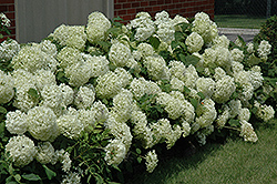 Annabelle Hydrangea (Hydrangea arborescens 'Annabelle') at Squak Mountain Nursery