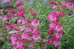 Red Rocks Beard Tongue (Penstemon x mexicali 'Red Rocks') at Squak Mountain Nursery