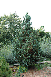 Van Pelt's Blue Falsecypress (Chamaecyparis lawsoniana 'Van Pelt's Blue') at Squak Mountain Nursery