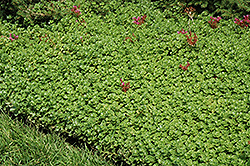 John Creech Stonecrop (Sedum spurium 'John Creech') at Squak Mountain Nursery