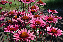 Fatal Attraction Coneflower (Echinacea purpurea 'Fatal Attraction') at Squak Mountain Nursery