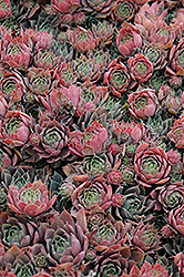 Purple Beauty Hens And Chicks (Sempervivum 'Purple Beauty') at Squak Mountain Nursery