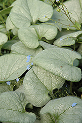 Looking Glass Bugloss (Brunnera macrophylla 'Looking Glass') at Squak Mountain Nursery
