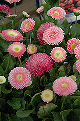 Tasso Pink English Daisy (Bellis perennis 'Tasso Pink') at Squak Mountain Nursery