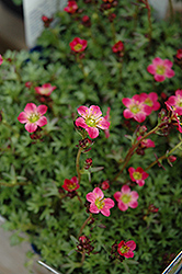 Red Form Saxifrage (Saxifraga x arendsii 'Highlander Red') at Squak Mountain Nursery