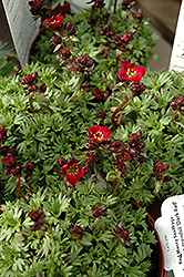 Dark Red Saxifrage (Saxifraga x arendsii 'Dark Red') at Squak Mountain Nursery