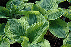 Brim Cup Hosta (Hosta 'Brim Cup') at Squak Mountain Nursery