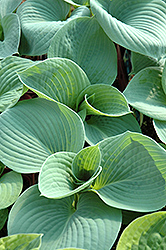 Bressingham Blue Hosta (Hosta 'Bressingham Blue') at Squak Mountain Nursery