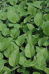 Royal Standard Hosta (Hosta 'Royal Standard') at Squak Mountain Nursery
