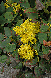 Creeping Mahonia (Mahonia repens) at Squak Mountain Nursery