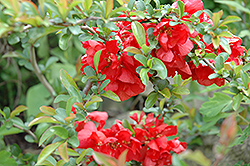 Texas Scarlet Flowering Quince (Chaenomeles speciosa 'Texas Scarlet') at Squak Mountain Nursery