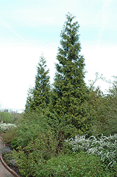 Green Giant Arborvitae (Thuja 'Green Giant') at Squak Mountain Nursery