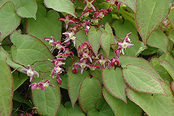 Bishop's Hat (Epimedium x rubrum) at Squak Mountain Nursery