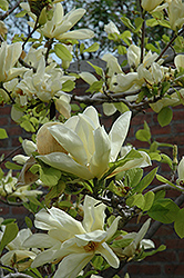 Elizabeth Magnolia (Magnolia 'Elizabeth') at Squak Mountain Nursery