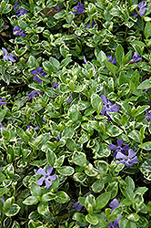Ralph Shugert Periwinkle (Vinca minor 'Ralph Shugert') at Squak Mountain Nursery