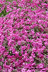 Moss Phlox (Phlox douglasii) at Squak Mountain Nursery