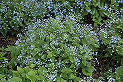 Siberian Bugloss (Brunnera macrophylla) at Squak Mountain Nursery