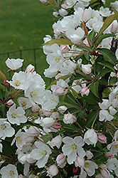 Adirondack Flowering Crab (Malus 'Adirondack') at Squak Mountain Nursery