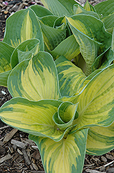 Great Expectations Hosta (Hosta 'Great Expectations') at Squak Mountain Nursery