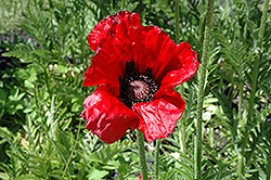 Beauty of Livermere Poppy (Papaver orientale 'Beauty of Livermere') at Squak Mountain Nursery