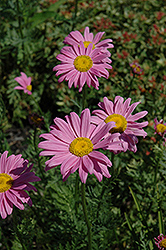 Robinson's Pink Painted Daisy (Tanacetum coccineum 'Robinson's Pink') at Squak Mountain Nursery