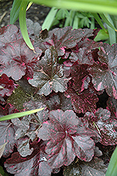 Midnight Rose Coral Bells (Heuchera 'Midnight Rose') at Squak Mountain Nursery