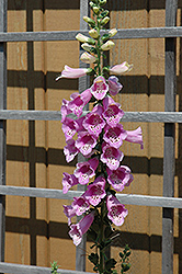 Common Foxglove (Digitalis purpurea) at Squak Mountain Nursery