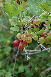 Pixwell Gooseberry (Ribes 'Pixwell') at Squak Mountain Nursery