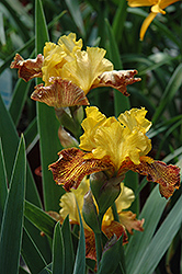 Supreme Sultan Iris (Iris 'Supreme Sultan') at Squak Mountain Nursery