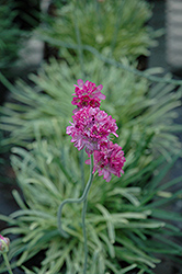 Nifty Thrifty Sea Thrift (Armeria maritima 'Nifty Thrifty') at Squak Mountain Nursery