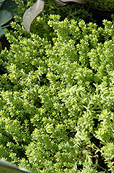 Golden Moss Stonecrop (Sedum acre 'Aureum') at Squak Mountain Nursery