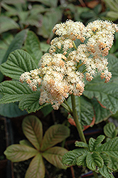 Elegans Rodgersia (Rodgersia pinnata 'Elegans') at Squak Mountain Nursery