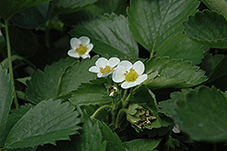 Everbearing Strawberry (Fragaria 'Everbearing') at Squak Mountain Nursery