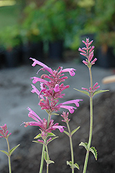 Tutti Frutti Hyssop (Agastache 'Tutti Frutti') at Squak Mountain Nursery