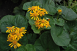 Desdemona Rayflower (Ligularia dentata 'Desdemona') at Squak Mountain Nursery