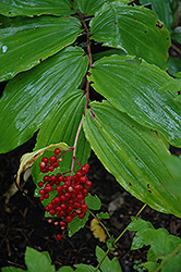 False Solomon's Seal (Smilacina racemosa) at Squak Mountain Nursery