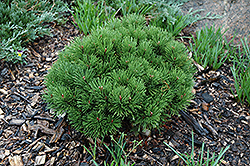 Teeny Dwarf Mugo Pine (Pinus mugo 'Teeny') at Squak Mountain Nursery