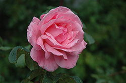 Queen Elizabeth Rose (Rosa 'Queen Elizabeth') at Squak Mountain Nursery