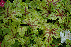 Alabama Sunrise Foamy Bells (Heucherella 'Alabama Sunrise') at Squak Mountain Nursery