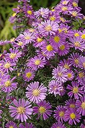 Celeste Aster (Aster novi-belgii 'Celeste') at Squak Mountain Nursery