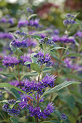 Dark Knight Caryopteris (Caryopteris x clandonensis 'Dark Knight') at Squak Mountain Nursery