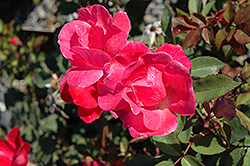 Pink Knock Out® Rose (Rosa 'Radcon') at Squak Mountain Nursery