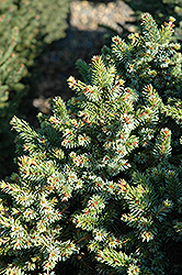 Pimoko Spruce (Picea omorika 'Pimoko') at Squak Mountain Nursery
