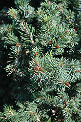 Gnom Dwarf Spruce (Picea omorika 'Gnom') at Squak Mountain Nursery