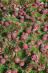 Red Hens And Chicks (Sempervivum 'Red') at Squak Mountain Nursery