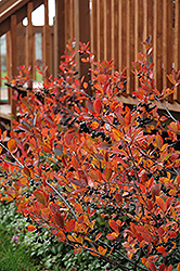 Autumn Magic Black Chokeberry (Aronia melanocarpa 'Autumn Magic') at Squak Mountain Nursery