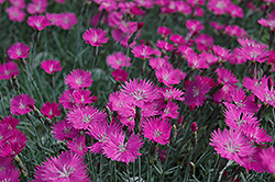 Firewitch Pinks (Dianthus gratianopolitanus 'Firewitch') at Squak Mountain Nursery