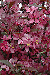 Royal Raindrops Flowering Crab (Malus 'Royal Raindrops') at Squak Mountain Nursery
