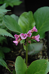 Winter Glow Bergenia (Bergenia 'Winterglut') at Squak Mountain Nursery
