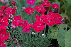 Neon Star Pinks (Dianthus 'Neon Star') at Squak Mountain Nursery